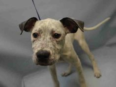 SAFE - 01/21/16 - **PUPPY ALERT** - GYPSY - #A1063184 - Urgent Brooklyn - FEMALE WHITE/BLUE MERLE AM PIT BULL TER MIX, 4 Mos - OWNER SUR - EVALUATE, NO HOD Reason NO TIME - Intake 01/17/16 Due Out 01/17/16 - CAME IN WTH ROSCOE #A1063183