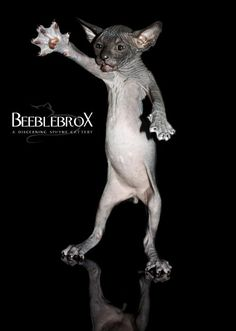 www.beeblebroxsphynx.com  Wonderful hairless cats.  Sphynx kittens and sphynx cats.