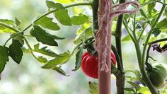 """Suckers, the shoots that sprout in the """"V"""" between a tomato plant's main stem and its branches, can easily be broken off, rooted and planted."""