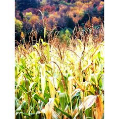 Corn Stalks Fall Photograph fine art photo Country Rustic home decor... ($12) ❤ liked on Polyvore featuring home, home decor, wall art, photo wall art, autumn home decor and fall home decor
