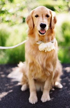 Golden retriever wedding dog with floral collar