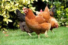 Med blot fire-fem høns i gården kan du få friske æg hver morgen...(god beskrivelse på link)