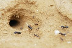 Ants are a year-round nuisance in homes and buildings. This article discusses the various locations where ants can build nests. Types Of Ants, Ant Colony, Black Ants, Candels, Goat Milk Soap, Handmade Soaps, Nests, Orthodox Christianity, Gardens