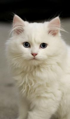 Top 10 Cat Breeds Who Love Water - CatTime Don't let their delicate, beautiful appearance fool you. Like their cousin the Turkish Van, the Turkish Angora is fond of water and will play in it readily. Cute Cats And Kittens, I Love Cats, Kittens Cutest, Cool Cats, Turkish Angora Cat, Angora Cats, Turkish Van Cats, American Bobtail, Pretty Cats