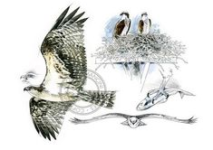 Balbuzard pêcheur aquarelle oiseau art art animalier
