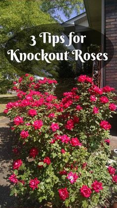 Rose Garden 3 Care Tips for Knock Out Roses ~ Gwin Gal Inside and Out - Knockout roses are relatively carefree, but they do take some basic care. Mine were neglected because I just didn't know how to care for knockout roses. Pruning Knockout Roses, Pruning Roses, Knockout Roses Care, Pruning Azaleas, Garden Ideas With Knockout Roses, Double Knockout Roses, Rose Bush Care, Rose Care, Garden Care
