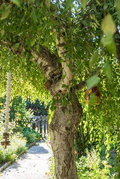 Die schwangere Birke - The pregnant birch