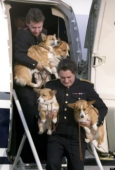 """The Queen's Corgis disemBARKing the plane."" From The Daily Corgi."