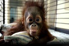 L'ourang-outanRizki est âgé de quatre mois, il vit au zoo de Surabaya. Une pétition circule pour la fermeture de ce zoo surnommé le «zoo de...