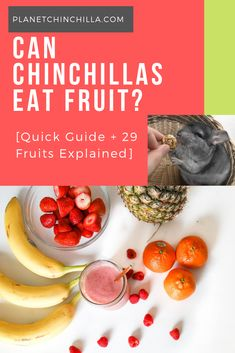 A detailed guide and summary of 29 fruits that chinchillas either can or can't eat safely. Must read before offering your chinchilla any harmful fruit. Chinchilla Facts, Chinchilla Food, Guinea Pig Toys, Guinea Pig Care, Guinea Pigs, Eat Fruit, Fresh Fruit, Hammock Diy, Pet Rodents