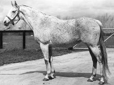 Dam of the champion filly, Ruffian, was  SHENANIGANS (USA) Gr m 1963, Native Dancer - Bold Irish. Only lightly raced before being sent to stud, her first foal was the successful Icecapade (Nearctic). Laughter (Bold Ruler) and On To Glory (Bold Lad) followed. In 1972 came Ruffian. In 1975 she was named Broodmare of the Year. In echoes of Ruffian's tragedy, waking from intestinal surgery in May 1977, she began to thrash and broke two legs and, sadly, had to be euthanized.