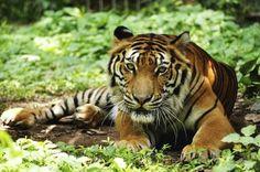 How to Build a Tiger Habitat Diorama (6 Steps)