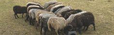 Shetland Sheep husbandry