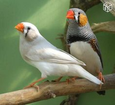 natural and white version of zebra finch