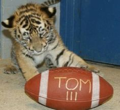 University of Memphis Tigers. November 3, 2008: Tom III three weeks before being introduced as the University of Memphis newest mascot – during the game of November 22nd against University of South Florida ( UCF ).