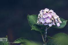 Hydrangea - https://500px.com/photo/118517327/ by Koukichi. Please Like http://fb.me/go4photos and Follow @go4fotos Thank You. :-)