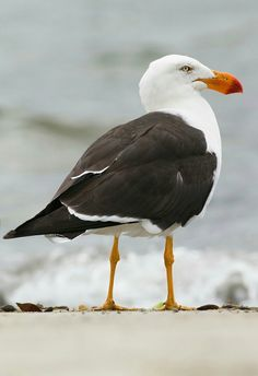 Pacific gull, Larus pacificus
