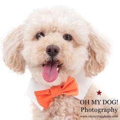 """Mr. Koa will see you now. #ohmydogphotography #dog #northpark #bowtie #bowtiesarecool #dogsofinstagram #photooftheday"" Photo taken by @ohmydogphoto on Instagram, pinned via the InstaPin iOS App! http://www.instapinapp.com (03/22/2015)"