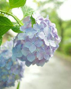 紫陽花 / Hydrangea/ Ajisai on the Philosopher's Walk Hortensia Hydrangea, Hydrangea Garden, Blue Hydrangea, Blue Garden, Garden Art, Flowers Nature, Colorful Flowers, My Flower, Flower Power