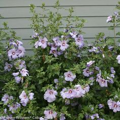 Proven Winners Azurri Blue Satin Rose of Sharon Live Shrub Blue Flowers will add a unique color to your summer landscape. Low Maintenance Landscaping, Low Maintenance Garden, Summer Flowers, Blue Flowers, Lilies Flowers, Hawaiian Flowers, Flowers Garden, Exotic Flowers, Yellow Roses