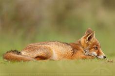 Fox cub http://thrumyeye.deviantart.com/gallery/?offset=1368