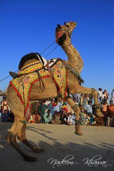 Dance.   Camel dancing in Cholistan , Bhawalpur, Pakistan