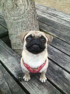 Pugs, French Bulldog, Animals, Animales, Animaux, French Bulldog Shedding, Bulldog Frances, Pug Dogs, Pug