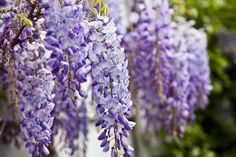 4 Must-Know Care Tips for Wisteria | Enjoy this Southern beauty while the show lasts.