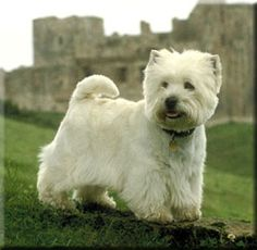 "West Highland White Terrier ""Westie"".  Doesn't shed, good with kids, small in height, medium in weight."