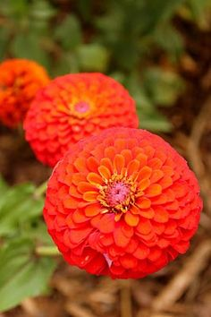zinnias - another 'winter' flower options @Stacy Stone Nadeau