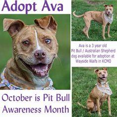 Adopt Ava a 3 yr old #PitBull #AustralianShepherd Dog at #WaysideWaifs in Kansas City, MO
