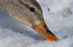 Photo of Female Mallard Duck - Digital File Mallard, Female, Digital, Photos, Animals, Ebay, Pictures, Animais, Animales