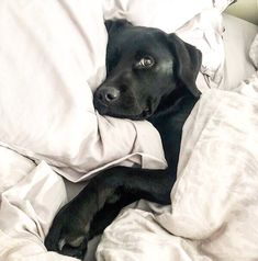 Things that make you go AWW! Like puppies, bunnies, babies, and so on. A place for really cute pictures and videos! Black Lab Puppies, Cute Dogs And Puppies, I Love Dogs, Doggies, Black Puppy, Cute Baby Animals, Funny Animals, Black Labrador Retriever, Black Labrador Dog