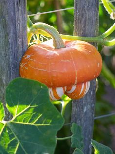 Squash 'Turk's Turban' - 9 Tasty Squash and Pumpkins on HGTV