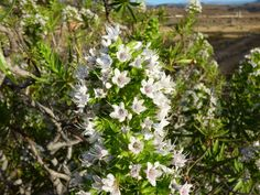 Canary Islands Photography: Naturaleza canaryflowers  Maspalomas Gran Canaria