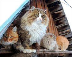 A Group Of Siberian Cats Have Taken Over a Russian Farm And The Photos Are Beautiful - World's largest collection of cat memes and other animals Siberian Forest Cat, Siberian Cats For Sale, Crazy Cat Lady, Crazy Cats, Animals And Pets, Funny Animals, Adorable Animals, Cat Club, What Cats Can Eat