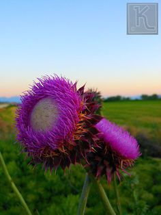 Thistles.. my mom worked very hard on the farm and pulled thistles... <3    They are pretty!