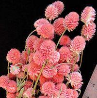 Dried Globe Amaranth - Hot Pink Amaranthus