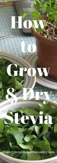 Grow your own sweetener! Stevia is healthier than sugar and easy to grow and use. Grow it, dehydrate it and store it!