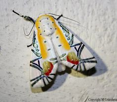 Baorisa hieroglyphica is a moth of the Noctuidae family. The Most beautiful moth in the world?!