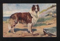 076536 Lovely Scotch COLLIE & Sheeps by DRUMMOND vintage TUCK