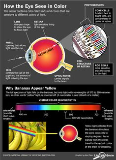 The colors we see are determined by the wavelength of reflected light. When the light reaches the eye, it hits the retina in the back of our eye. In the retina are tiny cells that respond to the light called cones. Science Fair, Science And Nature, Eye Anatomy, Eye Facts, Eye Sight Improvement, The Retina, Human Anatomy And Physiology, Body Systems, All About Eyes