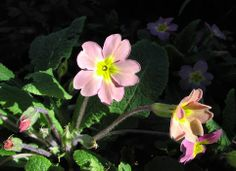 A bad witch's blog: Pagan Eye: Pink Primroses in Spring Sunlight