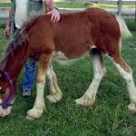 clydesdale-foal