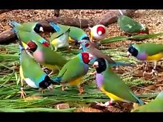 Gorgeous Gouldian Finches - my 2016 breeding stock - YouTube