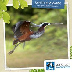 En Guyane, le héron agami bénéficie d'un important programme de protection sous l'égide du LIFE+ CAP DOM. Pour en savoir plus : http://www.lpo.fr/actualite/sur-la-trace-du-heron-agami  Héron agami © Vincent Rufray