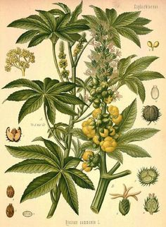 Abb.: वर्धमानः । Ricinus communis L. 1753 - Palma Christi / Rizinus - Castor Oil Plant [Bildquelle: Köhler, 1883-1914]