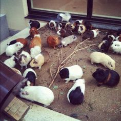 So many piggies! Is it so weird that I want to be in the middle of this?