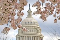 D.C. Cherry Blossoms 2012