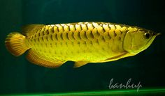 arrowana fish pictures | Maintenance and Care Arowana ~ planetanimalzone